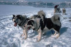 Sled dogs in Antarctica