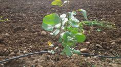 Cómo sembrar, plantar y cultivar Manzanilla en el huerto   Tuhuertoencasa.net