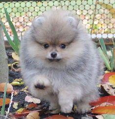 pomeranian for sale near me 🐶🐕 white pomeranian puppies for adoption 🐶🐕 teacup puppies for adoption 🐶🐕 White Pomeranian Puppies, Pomeranian Puppy For Sale, Dachshund Puppies For Sale, Teacup Puppies For Sale, Free Puppies, Teacup Pomeranian, Cute Dogs And Puppies, Baby Puppies, Doggies