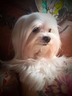 All the things we adore about the Smart Havanese Dogs Havanese Puppies, Maltese Dogs, Cute Puppies, Dogs And Puppies, Cute Dogs, Doggies, Maltipoo, Shih Tzu, Teacup Maltese