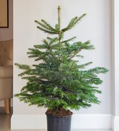 Potted Nordmann Fir Christmas Tree, this holds its needles brilliantly and has rich green foligae. Pick yours today.