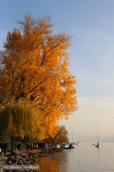 A colorful tree in fall - Lake Zurich, Switzerland
