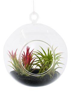 Terariu în Formă de Sferă Aerium #terariu #sfera #plante #natura #design #cadouri #ideicadouri
