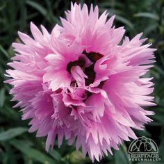 Religious Magic And Spiritual Ability Element One Dianthus Early Bird Fizzy. Full Sun, W, Early Spring To Late Summer. Needs Well Drained Soil. Pink Perennials, Full Sun Perennials, Full Sun Plants, Early Spring, Late Summer, Long Flowers, Beautiful Flowers, Edging Plants, Plant Zones