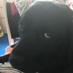Those eyes ... #blacklab #labrador #daftdog