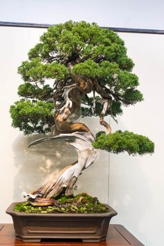 Chinese juniper #bonsai