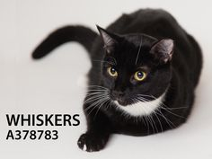 Whiskers (ID: A378783) is a nice cat. He is at the shelter because his person died. He is an affectionate sweetheart and is ready for his second chance at a FOREVER home. Whiskers was very curious about life around him during his photo shoot and wanted to explore but was very good sport about it all. Come meet Whiskers and see if this handsome fellow is the one that will make your home life complete!