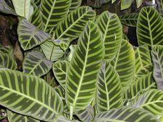 Houseplants-Peacock Plant