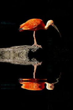 REFLECTED IBIS #reflections