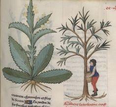 PLATEARIUS, «Livre des symples medichinos, autrement dit Arboriste, continué selon le A, B, C». Date d'édition: 1401-1500. Manuscrit Français.