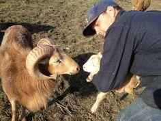 Father meets son, Gordon and Percy.  The sheep program at Tablas Creek Vineyard.