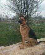 Roshan my german shephard
