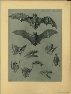 Antique Scientific Illustration - Bats Anatomy Group:  Neurological Correlates