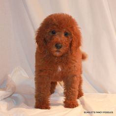 22 Best Red Moyenklein Poodles Images Poodle Moyen