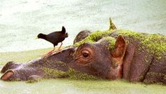Rivers and pools are homes for the seemingly cantankerous hippopotamus. The hippos ungainly appearance is deceiving. Underwater, they are good swimmers while out of water they have the unenviable reputation of being one of the most dangerous animals in Africa.