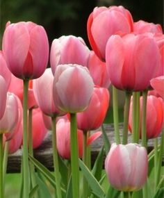 Selections from the John Scheepers Beauty from Bulbs Dutch Flower Bulbs Catalog gardens My Flower, Flower Power, Pretty In Pink, Beautiful Flowers, Simply Beautiful, Spring Flowering Bulbs, Special Flowers, Planting Bulbs, Pink Tulips