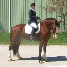 I think this guy might be big enough for me...Saddlebred/Clydesdale cross