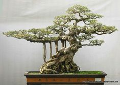 Bonsai Việt #bonsaimacetas
