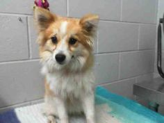 #A474401 Release date 10/21 I am a female, tan and white Pomeranian mix. Shelter staff think I am about 1 year old. I have been at the shelter since Oct 14, 2014.  City of San Bernardino Animal Control-Shelter. https://www.facebook.com/photo.php?fbid=10203765334031402&set=a.10203202186593068&type=3&theater