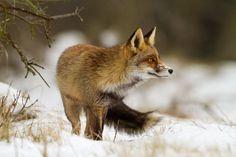"""Red fox """"Vulpes vulpes"""""""