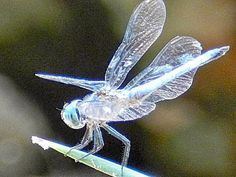 A completely clear Dragonfly ... a ghost Dragonfly ... or is this Photoshopped?