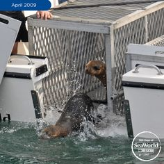 This sea lion, 'Chasing Chevy', was found more than a mile from the ocean in the parking lot of a Mexican restaurant! After rescuing bringing him back to health, Mr. Chevy was returned to the ocean along with other rescued sea lions. Photo #247 of #365DaysOfRescue