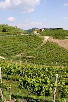 Venicefoto 2014 workshop - The Veneto is the area of Italy which surrounds the city of Venice, a hilly region of the Province of Treviso tucked between the Dolomites and the Adriatic.  In this beautiful and fertile area is the small strip of land where DOCG prosecco may be produced. by @cooksister