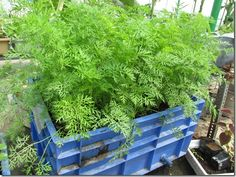 Step by step instructions for growing carrots in containers