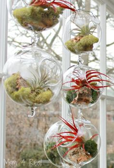 grow wonderfully indoors, but there are a few rules. You need soak the air plants in water for 2-3 hours every two weeks if the air in your home is dry. Do not let your Tillandsia dry out all the way. You should also never use distilled water . can use Bromeliads fertil8zer
