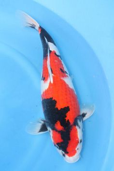 I seriously want a koi pond in the garden.
