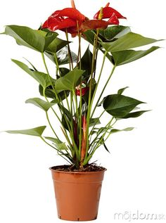 Antúrium (Anthurium) Vhodné do: tmavšej Foliage Plants, Tall Potted Plants, Houseplants, Anthurium, Ikea Plants, Plant Sale, Clusia, Plants, Tall Plants