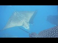Spotted Eagle Rays (Aetobatus narinari) - Kicker Rock, @ the Galapagos Islands http://1502983.talkfusion.com/product/