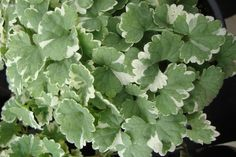 Acaena Buchananii Evergreen Perennial Rockery Ground-cover Plant in 9cm Pot