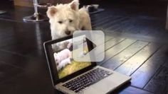 Computers aren't what they used to be. Now pictures come in as clear as day--so clear, even this dog couldn't make sense of it. Watch what happens when Radar the West Highland white terrier sees puppies on the flat screen. ROFL