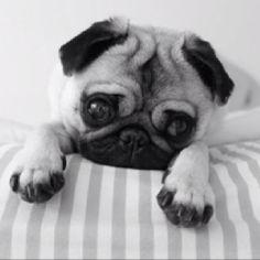 Pugs:)