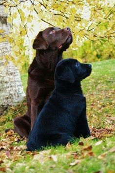 Two lovely labrador friends