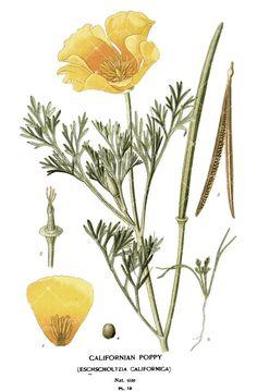 Californian Poppy Ladies T-Shirt Botanical by BotanyPress on Etsy