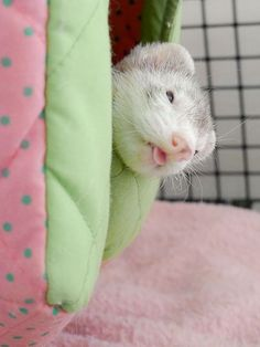 adorable sleepy ferret peeking out of its bed