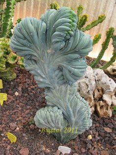 Myrtillocactus geometrizans f. cristatus