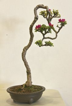 Houseplants That Filter the Air We Breathe Bonsai Bougainvillea Bonsai, Bonsai Plants, Bonsai Garden, Garden Plants, House Plants, Bonsai Trees, Air Plants, Cactus Plants, Flowering Bonsai Tree