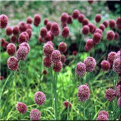 Allium sphaerocephalum.  For more on planting design http://www.my-garden-school.com/course/designing-with-plants/