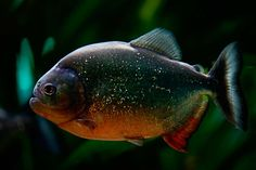 piranha fish - Google Search