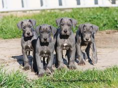 When I have my own house one day... a Great Dane will be my guardian