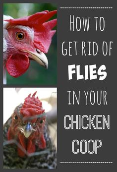 Flies in the chicken