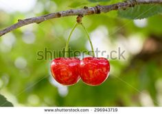 #Two #Cherries @Shutterstock @ShutterstockDE #shutterstock #food #fruits #red #twins #cherry #leaves #summer #healthy #macro #focus #bokeh #nature #season #green #trees #stock #photo #portfolio #download #hires #royaltyfree