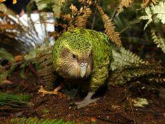 Flightless Parrot, Kakapo Parrot, Exotic Birds, Colorful Birds, Endangered Species, Beautiful Birds, Pet Birds, Habitats, New Zealand