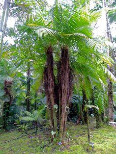Dypsis utilis Lundkvist garden, Hawaii