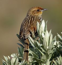 Many-striped Canastero, Ovenbird family. Colombia/ Ecuador/ Peru