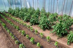 Home And Garden, Plants, Gardening, Gardens, Tomatoes, Lawn And Garden, Plant, Planets, Horticulture