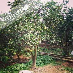 Peluang bisnis sewa lahan perkebunan untuk buah-buahan, seperti Jeruk Baby Malang, yang kini memiliki pangsa pasar yang luas, tentu bisnis ini memiliki prospek yang cerah